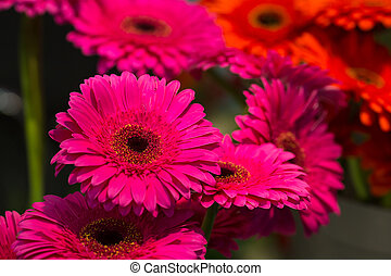 Beautiful marguerites - Bright pink marguerites close up