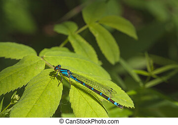 Damselfly Resting on Leaves - Macro of a blue and brown...