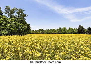 Field of Gold - An idle Indiana agricultural field is...