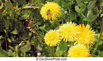Bee on the yellow flower in the wild environment - Honey bee...