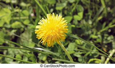Yellow dandelion flower in the wild environment - Yellow...