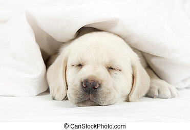 Labrador puppy sleeping in a bed - Six weeks old purebred...
