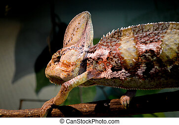The Large Eared Lizard - In the Reptile Park, Sydney, The...