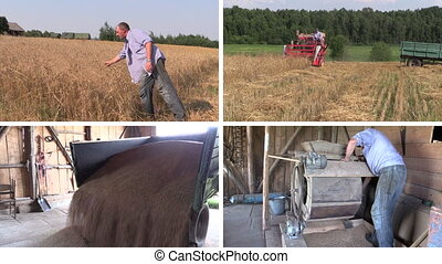 Farmer check harvest and sift wheat plants. Video collage -...