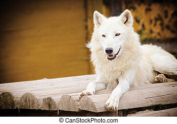 large white wolf - a large white wolf lying on a wooden...