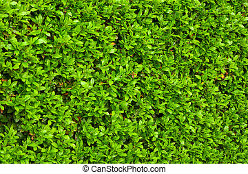 Green bushes leaves hedge background