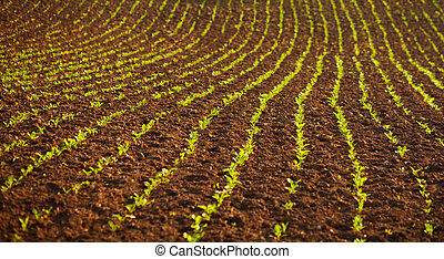 Rural agricultural landscape, field of young green plants