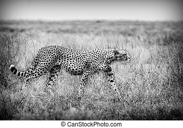 Cheetah in Black and White