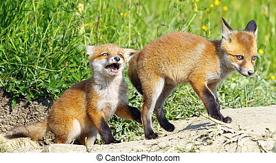 angry fox baby - angry red fox baby playing with its brother...