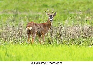 beautiful roebuck in spring field Capreolus capreolus, male...