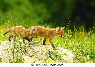 big brother fox - big brother red fox walking near the den...