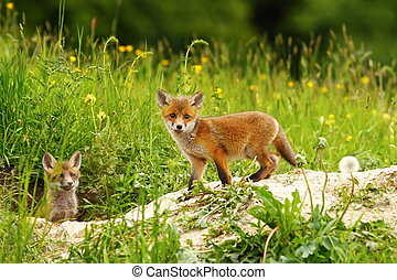 cute fox cub near the den ( Vulpes vulpes )