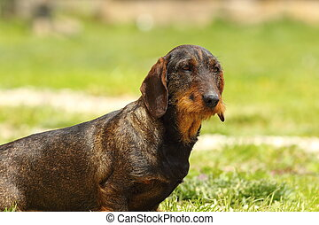cute wire haired dachshund standing on lawn
