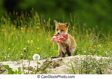 fox cub eating meat - cute red fox cub has stolen chicken...