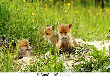 fox cubs near the den - three cute red fox cubs basking near...