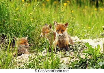 fox cubs near the den - three cute red fox cubs basking near...