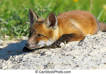 lazy fox - lazy red fox laying near the den Vulpes vulpes...