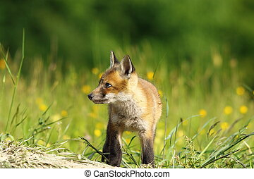 little fox baby - little red fox baby exploring the land...