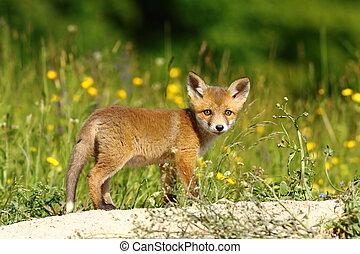 little fox near the den - little european fox near the den...