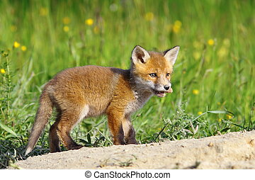little red fox cub ( Vulpes vulpes ) standing near the den,...