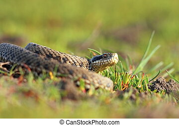 meadow viper basking in natural habitat