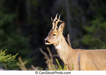 portrait of wild roebuck