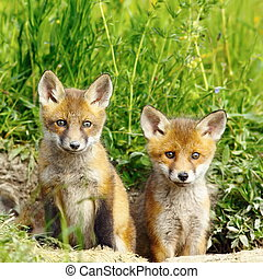 red fox brothers - cute red fox brothers standing at the...