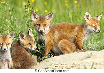 red fox family, four cute cubs resting near the burrow,...