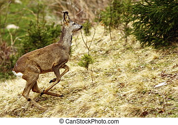 roe deer running - roe deer buck running in forest, panning...