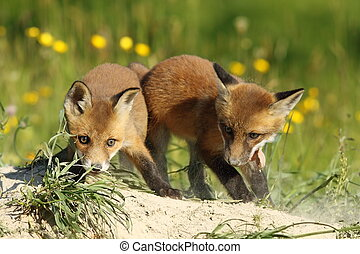 two fox brothers playing in front of the den Vulpes vulpes...