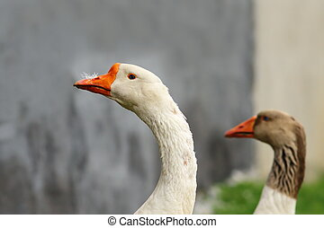 white gander portrait, image taken in rural area where the...
