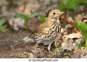 young song thrush Turdus philomelos on ground