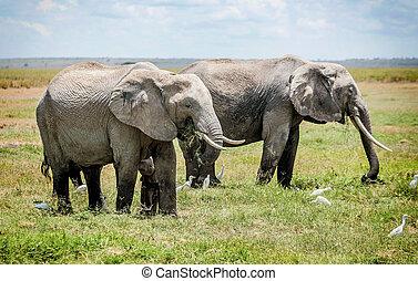 非洲, 肯尼亞, 家庭, 大象