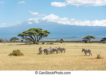 Grevy Zebra herd with Kilimanjaro moun in the background in...