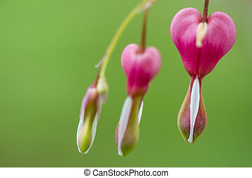 Bleeding Heart Flowers - A close up of a bright pink...