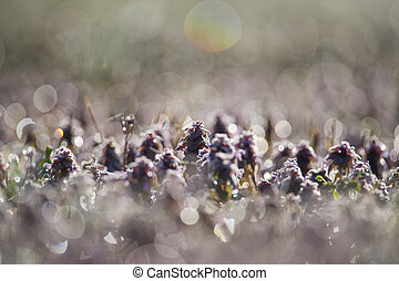 Back-Lit Purple Flowers 1 - A small field of dew covered...