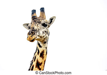 Giraffe close up isolated on white