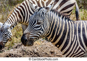 Profile of a beautiful Grevy Zebra in Kenya, Africa