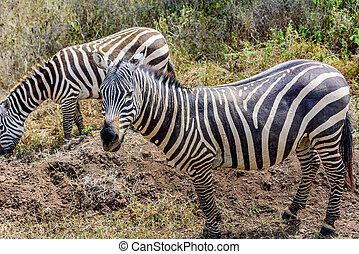 Grevy Zebra in Kenya, Africa