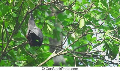 Flying fox hangs on a tree branch and washes - Lyle's flying...