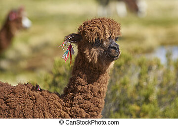 Portrait of an Alpaca - Portrait of an alpaca (Lama pacos)...