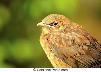 Thrush Turdus philomelos - Closeup portrait of young brown...