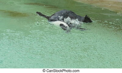 Penguin swimming under rain - Magellanic penguin swimming...