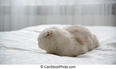 Scottish Fold kitten licking the fur on bed