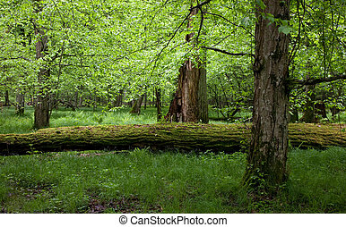 Deciduous stand of Bialowieza Forest in springtime - Shady...