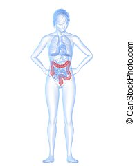 belly ache - 3d rendered illustration of a female anatomy...