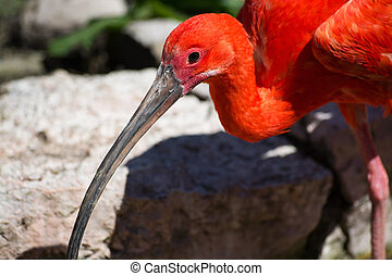 Scarlet Ibis Eudocimus ruber - Scarlet ibis, also called in...