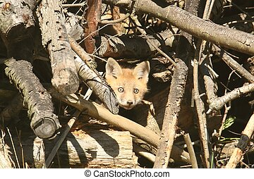 Red Fox Kit vulpes peaking out of the den