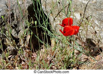 Poppy Flowers on Stony Ground
