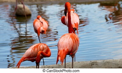 Flamingo stand in water